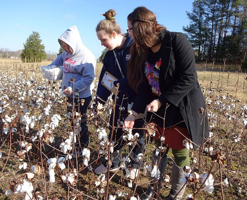 Three teenage girls learning about growing cotton and standing in a cotton field